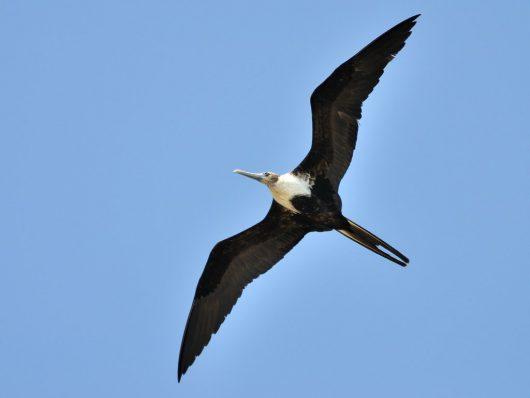 Fregaty mają rozpiętość skrzydeł do dwóch metrów i potrafią pokonywać dziennie setki kilometrów