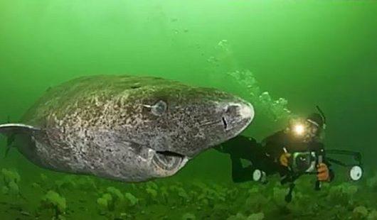 Rekin polarny najdłużej żyjącym kręgowcem na Ziemi 3