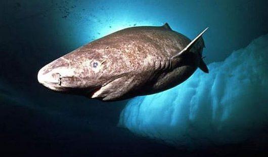 Rekin polarny najdłużej żyjącym kręgowcem na Ziemi 4
