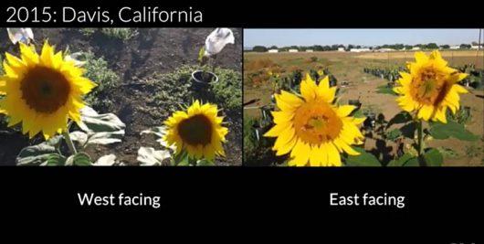 Słoneczniki skierowane na wschód przyciągają kilkakrotnie więcej owadów które je zapylają