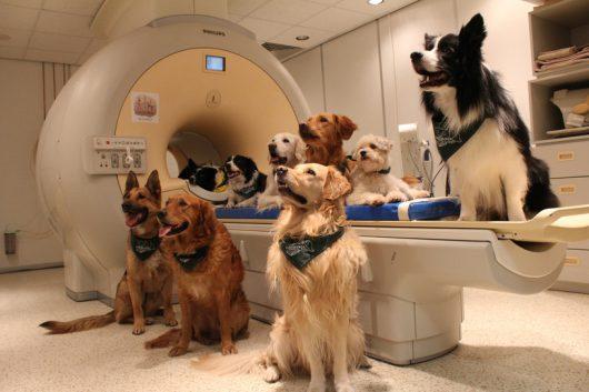 Stado psów przyzwyczajonych do badań rezonansem magnetycznym /Eniko Kubinyi /materiały prasowe