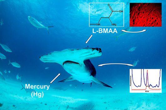 W płetwach i mięsie rekinów występują neurotoksyny powodujące alzheimera