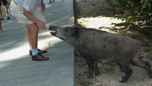 polska-dzikie-swinie-opanowaly-swinoujscie-1