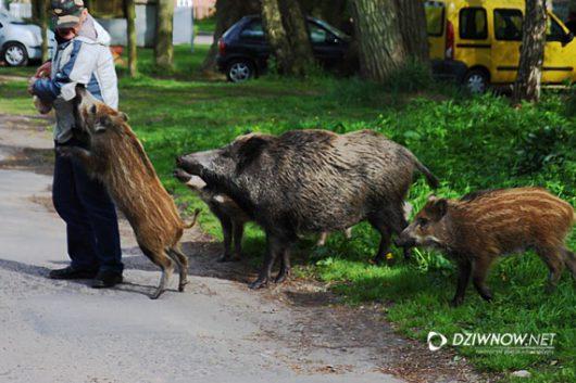 polska-dzikie-swinie-opanowaly-swinoujscie-6