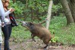 polska-dzikie-swinie-opanowaly-swinoujscie-8_1