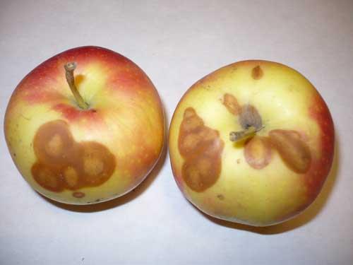 psujace-sie-jablka