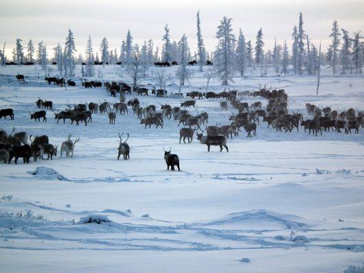 syberia-rosja-szykuje-sie-ogromna-masakra-wladze-chca-wybic-250-z-700-tysiecy-reniferow-z-najwiekszego-na-swiecie-stada-3