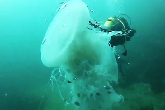 puerto-vallarta-meksyk-nurkowie-spotkali-ogromna-meduze-w-poblizu-plazy-majahuitas-1