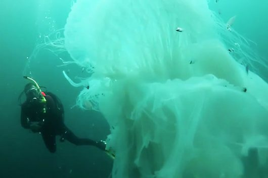 puerto-vallarta-meksyk-nurkowie-spotkali-ogromna-meduze-w-poblizu-plazy-majahuitas-2