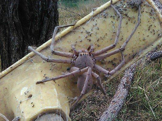australia-gigantyczny-pajak-w-queensland-1