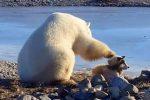 churchill-kanada-niezwykla-przyjazn-psa-i-niedzwiedzia-polarnego
