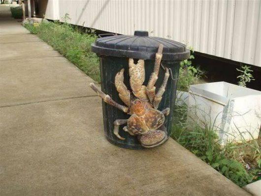 krab-palmowy-2