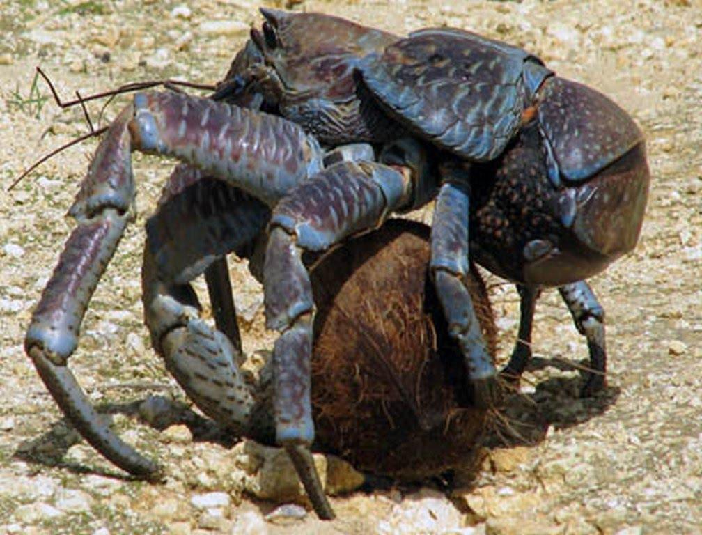 Big Cat Crustacean