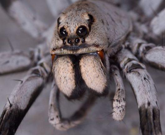 Białko z jadu groźnego australijskiego pająka, podane nawet 8 godzin po udarze mózgu, może w znacznym stopniu uchronić komórki przed skutkami niedotlenienia
