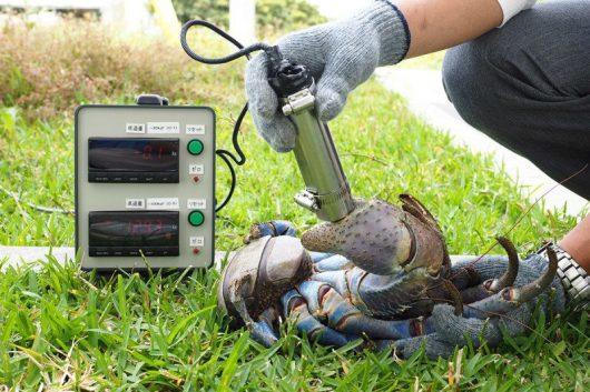 Pomiary siły uścisku szczypiec kraba palmowego /Shin-ichoro Oka /materiały prasowe