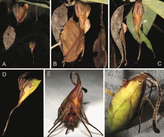 w-chinach-odkryto-nowy-niezwykly-gatunek-pajaka-ktory-wyglada-jak-lisc-2