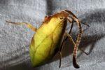 w-chinach-odkryto-nowy-niezwykly-gatunek-pajaka-ktory-wyglada-jak-lisc-5
