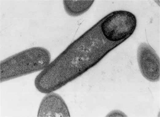 bakteria-paenibacillus