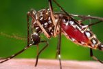 komar-tygrysi