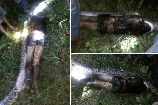 Sulawesi, Indonezja – Siedmiometrowy pyton siatkowy zjadł 25-letniego mężczyznę, który szedł do pracy [Video]