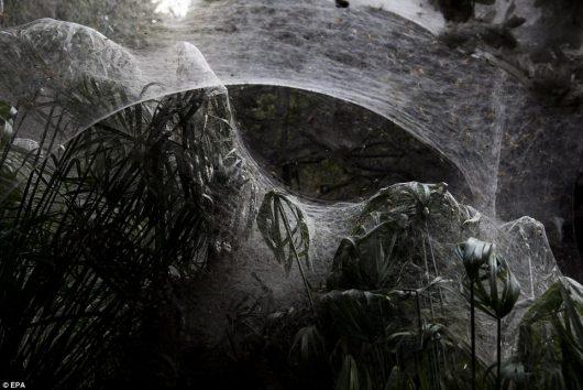 Jerozolima, Izrael – Pająki stworzyły niezwykle wielkie sieci na drzewach i miedzy nimi