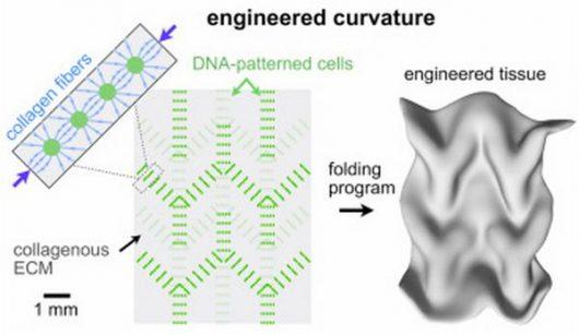 Opracowano metodę programowania DNA o nazwie DPAC, która umożliwia tworzenie konkretnego kształtu jako tkanka