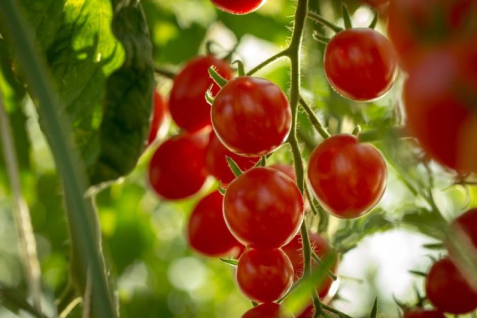 Pomidory poprzez kanały z sokiem wysyłają impulsy elektryczne do reszty rośliny, gdy są zjadane przez gąsienice, roślina w obronie uwalnia nadtlenek wodoru