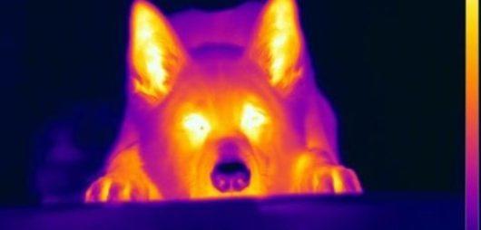 Psy potrafią wyczuwać temperaturę na odległość