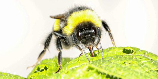 Trzmiele poprzez podgryzanie liści powodują wcześniejsze nawet o miesiąc kwitnienie roślin, robią tak, gdy brakuje pyłku