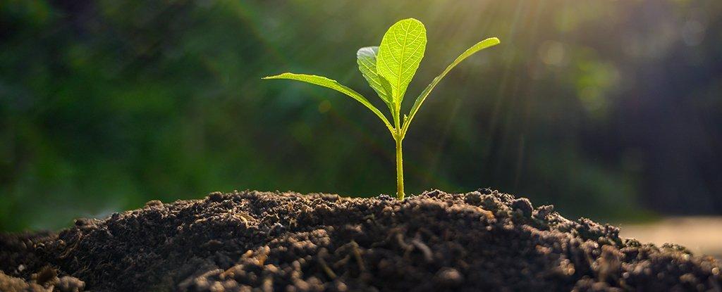 Po dodaniu zwierzęcego genu kodującego białko, rośliny rosły dwa razy szybciej, bardziej odporne były na suszę, a plony były o połowę większe
