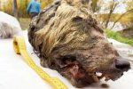 Jakucja, Rosja - W zmarzlinie znaleziono odciętą głowę pradawnego wilka z doskonale zachowanym futrem, kłami i mózgiem, liczy około 40 tysięcy lat