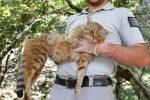 """Korsyka - Odkryto dzikiego drapieżnika znanego z legend, """"kocie lisy"""" przypominają domowe koty, ale są agresywne i mają bardziej rozwinięte uzębienie"""