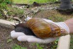 Plaga groźnych, afrykańskich ślimaków olbrzymich na Kubie