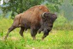 USA - W Parku Yellowstone bizon zaatakował mężczyznę, trzy miesiące później jego dziewczynę