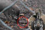 Paryż, Francja - W zoo zaobserwowano świnie wisajskie wykorzystujące narzędzia