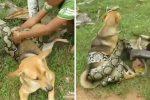 Chłopcy ratowali psa, którego oplótł wąż