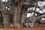 Afryka - Giną bardzo stare drzewa, obumierają baobaby afrykańskie mające nawet 2000 lat