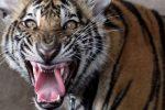Houston, USA - Poszli zapalić skręta do opuszczonego budynku i w trakcie palenia zobaczyli ogromnego tygrysa