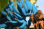 Banany Blue Java w smaku przypominają krem waniliowy lub lody
